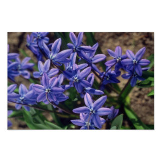 Spring Beauty, (Scilla Sibirica) flowers Print