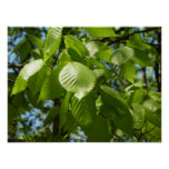 Spring Birch Leaves Green Tree Poster