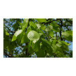 Spring Birch Leaves Green Tree Poster