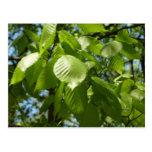 Spring Birch Leaves Postcard
