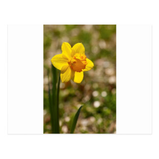 Spring Blooming Yellow Daffodil Blossom Postcard