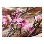 Spring Blossoms on Zion Red Rocks Postcard