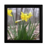 Spring Bulbs - Daffodils Gift Boxes