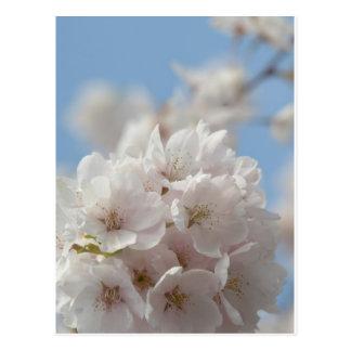 Spring Cherry Blossom Postcard