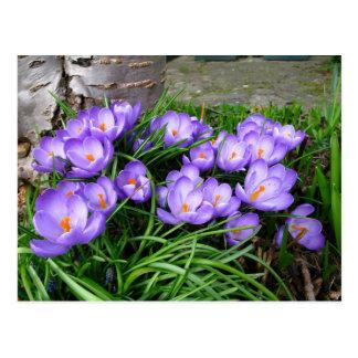 Spring Crocus Postcard