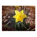 Spring Daffadil Postcard