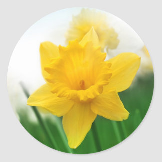 Spring daffodil classic round sticker