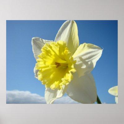 Framed Print on Spring Daffodil Flowers  Art Prints  Canvas Art  Framed Prints