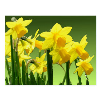 SPRING DAFFODILS by SHARON SHARPE Postcard