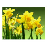 SPRING DAFFODILS by SHARON SHARPE Postcards