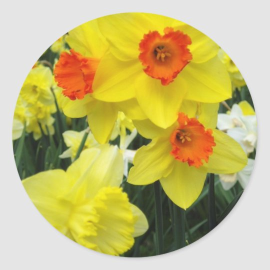 Spring Daffodils Classic Round Sticker