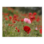 Spring field with red poppies post card