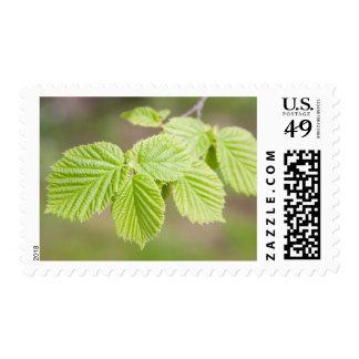 Spring hazel tree twig and leaves postage stamp