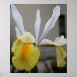Spring Iris Blooming Close-up Poster