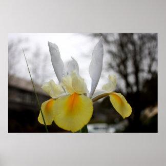 Spring Iris Blooming Poster