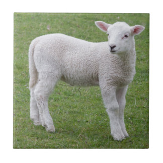 Spring lamb ceramic tile