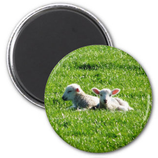 Spring Lambs in the Sunshine Cornwall England Magnets