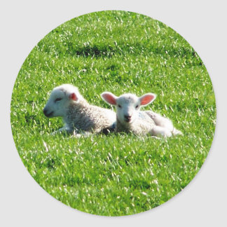 Spring Lambs in the Sunshine Cornwall England Round Stickers