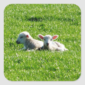 Spring Lambs in the Sunshine Cornwall England Square Sticker