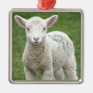 Spring Lambs Silver-Colored Square Decoration