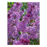 Spring Lilacs Posters