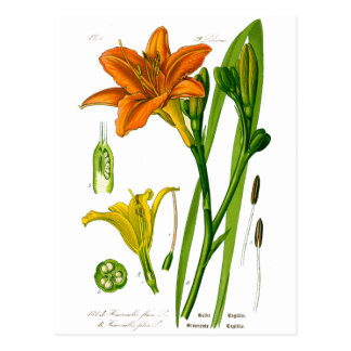 Spring Lily Post Cards