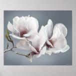 Spring Magnolia blossom, pink, soft grey Poster