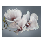 Spring Magnolia blossom, pink, soft grey Posters