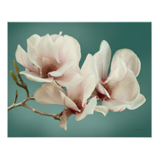 Spring Magnolia blossom, pink, soft  teal Print