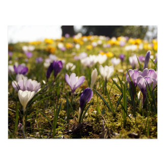 Spring meadow with crocus in the back light postcard