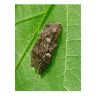 Spring Peeper (Pseudacris crucifer) Treefrog Items Postcard