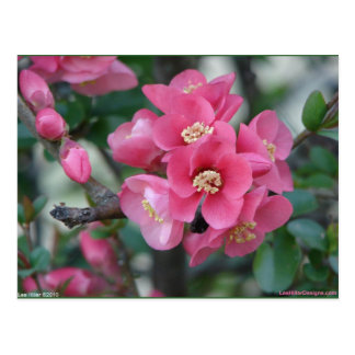 Spring Pink Blooming Flowering Quince Postcard