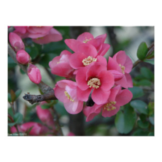 Spring Pink Blooming Flowering Quince Poster