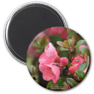 Spring Pink Flowering Quince 2 Inch Round Magnet