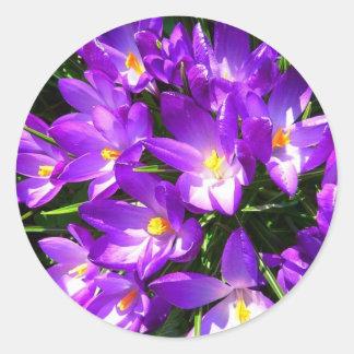 Spring Purple Crocus Flower Classic Round Sticker