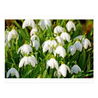 Spring Snowflake & Summer Snowflake or Loddon Lily Postcard