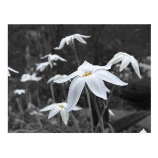 Spring Starflowers Post Card