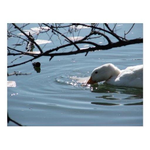 """""""Spring Thaw Swim"""" Postcard"""