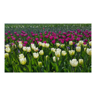 Spring time in Holland with Tulips Poster