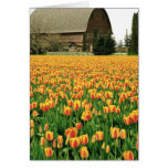 Spring tulips bloom in front of old barn. greeting cards