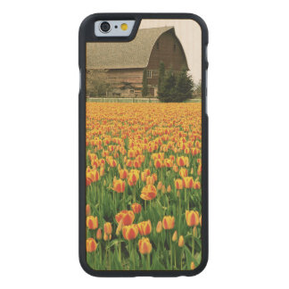 Spring tulips bloom in front of old barn. carved® maple iPhone 6 slim case