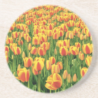 Spring tulips bloom in front of old barn. coaster