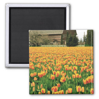 Spring tulips bloom in front of old barn. magnet