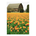 Spring tulips bloom in front of old barn. photograph