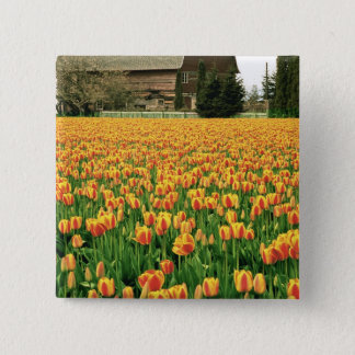 Spring tulips bloom in front of old barn. pinback button