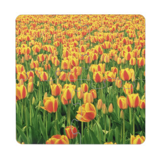 Spring tulips bloom in front of old barn. puzzle coaster