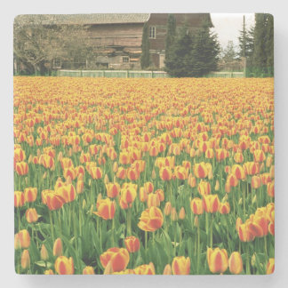 Spring tulips bloom in front of old barn. stone coaster