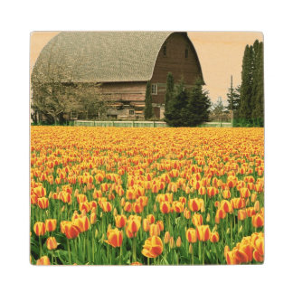 Spring tulips bloom in front of old barn. wood coaster