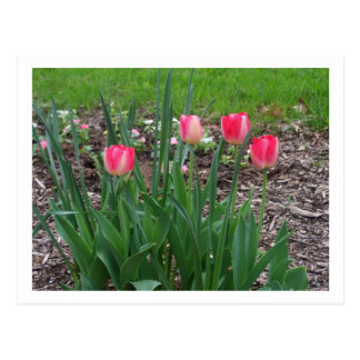 Spring Tulips Postcard