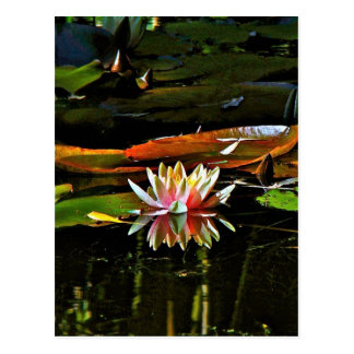 SPRING WATER LILY IN A POND POSTCARD